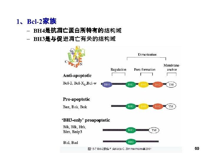 1、Bcl-2家族 – BH 4是抗凋亡蛋白所特有的结构域 – BH 3是与促进凋亡有关的结构域 69