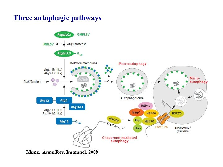 Three autophagic pathways Munz, Annu. Rev. Immunol. 2009