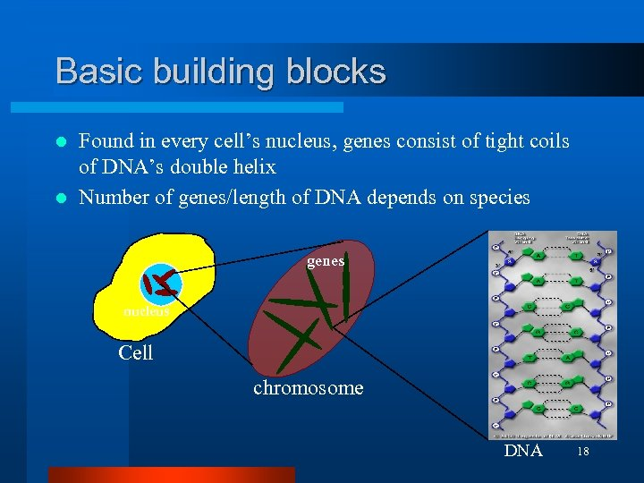 Basic building blocks Found in every cell's nucleus, genes consist of tight coils of