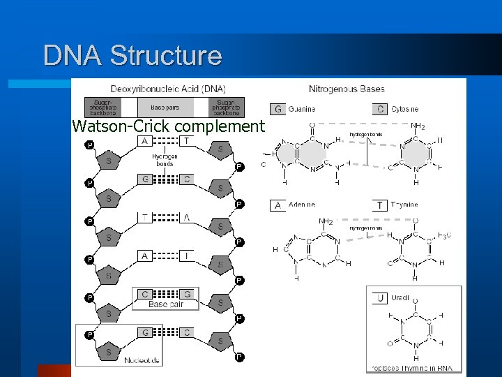 DNA Structure Watson-Crick complement 19