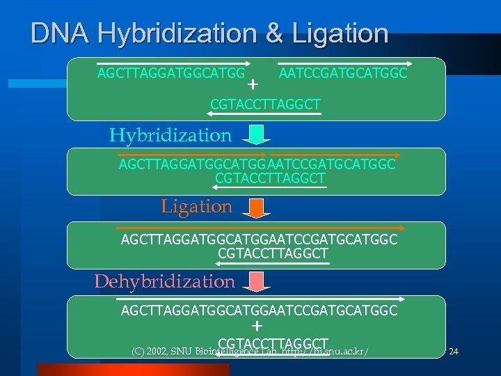 DNA Hybridization & Ligation AGCTTAGGATGGCATGG + AATCCGATGCATGGC CGTACCTTAGGCT Hybridization AGCTTAGGATGGCATGGAATCCGATGCATGGC CGTACCTTAGGCT Ligation AGCTTAGGATGGCATGGAATCCGATGCATGGC CGTACCTTAGGCT