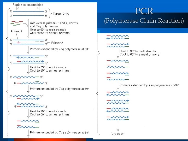PCR (Polymerase Chain Reaction) (C) 2002, SNU Biointelligence Lab, http: //bi. snu. ac. kr/