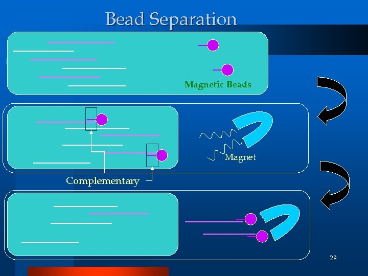 Bead Separation Magnetic Beads Magnet Complementary 29