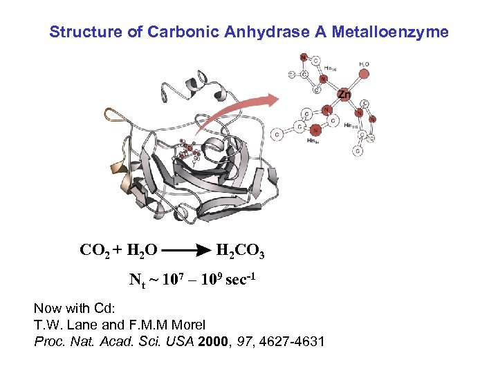 Structure of Carbonic Anhydrase A Metalloenzyme CO 2 + H 2 O H 2