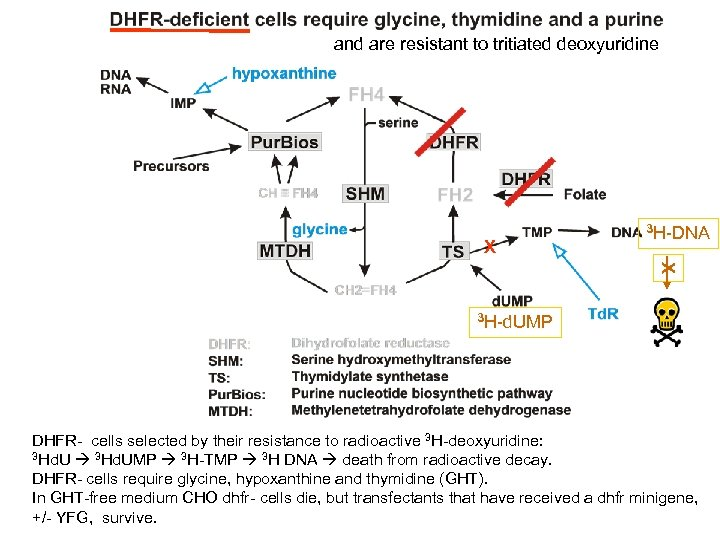 and are resistant to tritiated deoxyuridine X 3 H-DNA X 3 H-d. UMP DHFR-