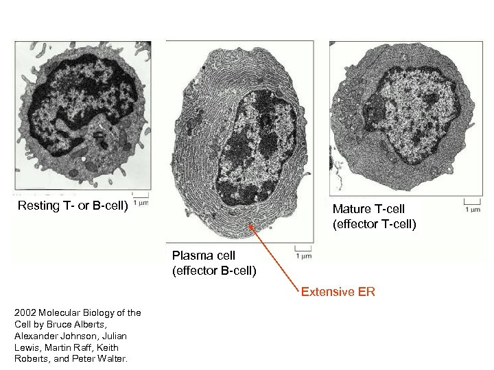Resting T- or B-cell) Mature T-cell (effector T-cell) Plasma cell (effector B-cell) Extensive ER