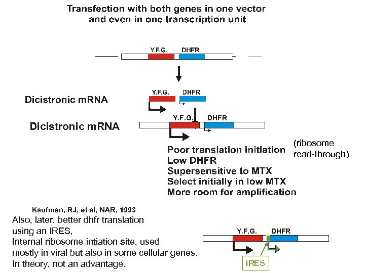 Dicistronic m. RNA Y. F. G. DHFR (ribosome read-through) Also, later, better dhfr translation