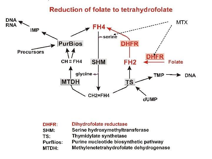 Reduction of folate to tetrahydrofolate MTX
