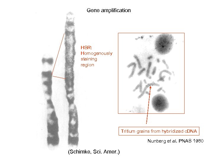 Gene amplification HSR: Homogenously staining region Tritium grains from hybridized c. DNA Nunberg et