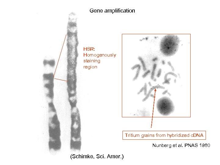 Gene amplification HSR: Homogenously staining region Tritium grains from hybridized c. DNA Nunberg et