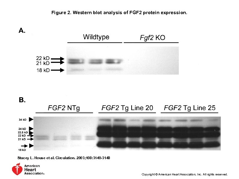 Figure 2. Western blot analysis of FGF 2 protein expression. Stacey L. House et