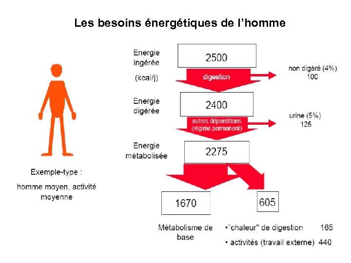Les besoins énergétiques de l'homme