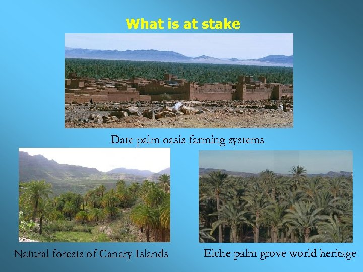 What is at stake Date palm oasis farming systems Natural forests of Canary Islands