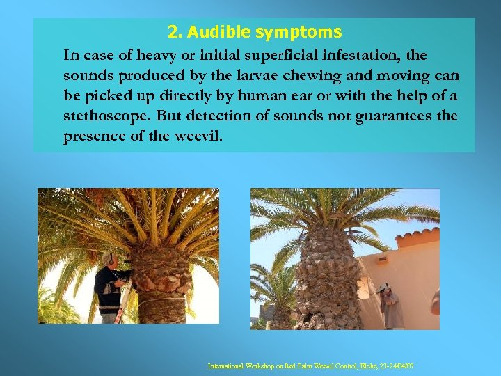2. Audible symptoms In case of heavy or initial superficial infestation, the sounds produced