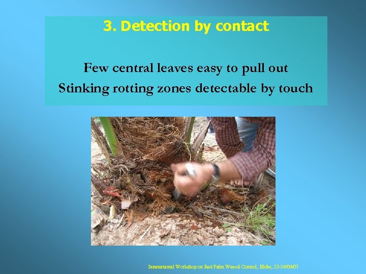 3. Detection by contact Few central leaves easy to pull out Stinking rotting zones