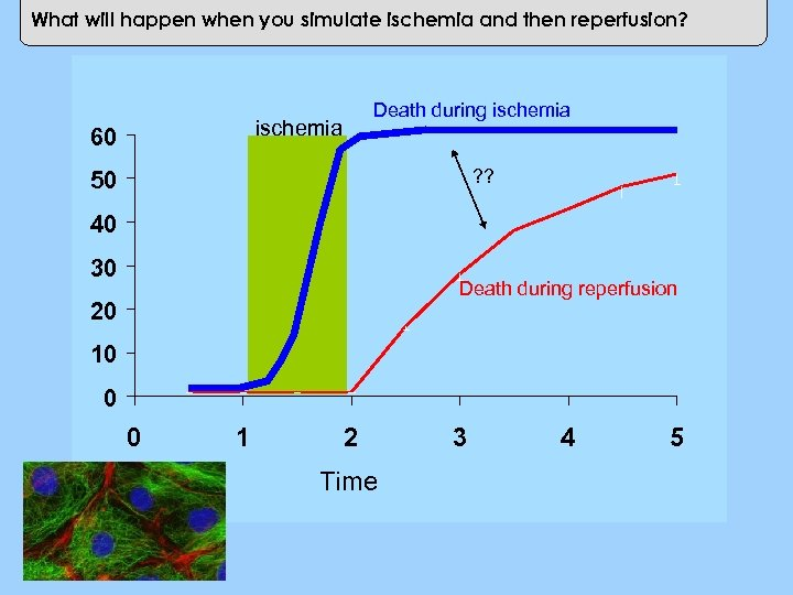 What will happen when you simulate ischemia and then reperfusion? ischemia 60 Cell Death
