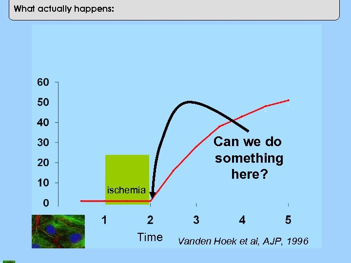 Cell Death (%) What actually happens: Can we do something here? ischemia Time Vanden
