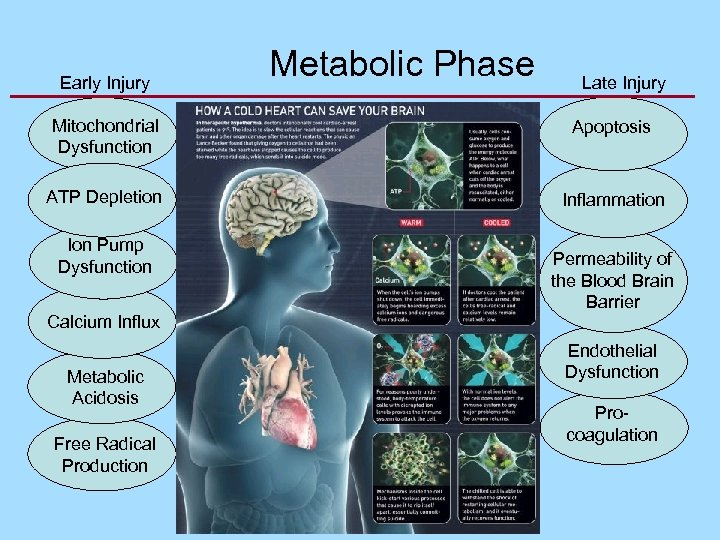 Early Injury Metabolic Phase Late Injury Mitochondrial Dysfunction Apoptosis ATP Depletion Inflammation Ion Pump