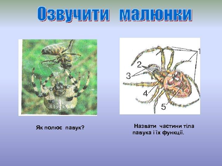 Як полює павук? Назвати частини тіла павука і їх функції.