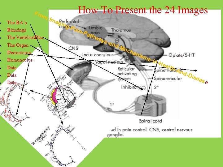 Fro m: I The BA's Blessings The VertebraDisc The Organ Dermatome Homunculus Data How