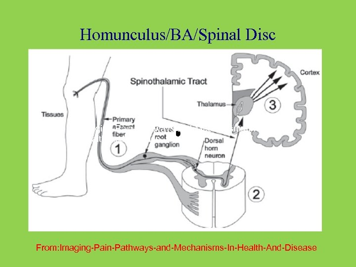 Homunculus/BA/Spinal Disc Imaging-Pain-Pathways-and-Mechanisms-In. Health-And-Disease From: Imaging-Pain-Pathways-and-Mechanisms-In-Health-And-Disease
