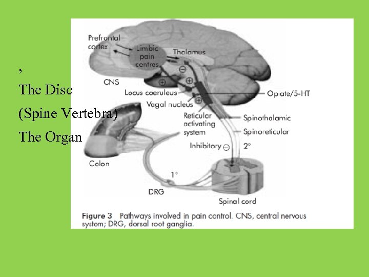 , The Disc (Spine Vertebra) The Organ