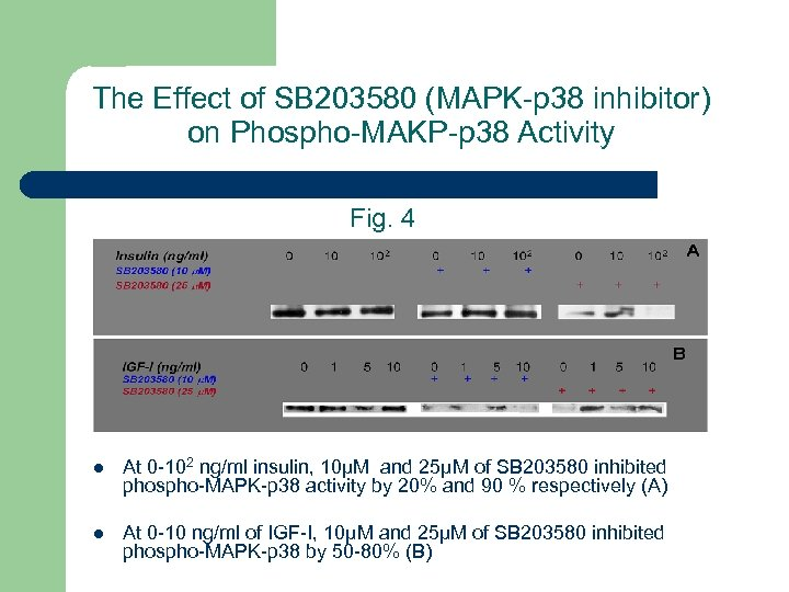 The Effect of SB 203580 (MAPK-p 38 inhibitor) on Phospho-MAKP-p 38 Activity Fig. 4