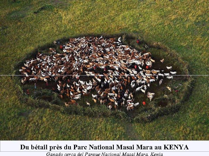 Du bétail près du Parc National Masai Mara au KENYA Ganado cerca del Parque