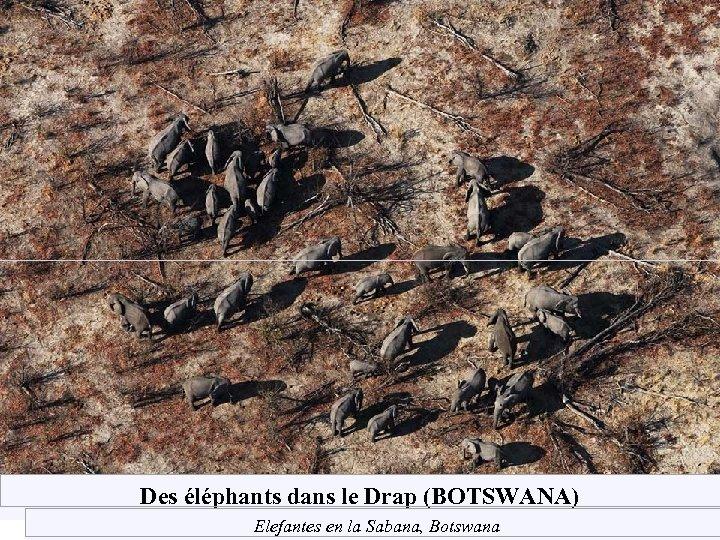 Des éléphants dans le Drap (BOTSWANA) Elefantes en la Sabana, Botswana