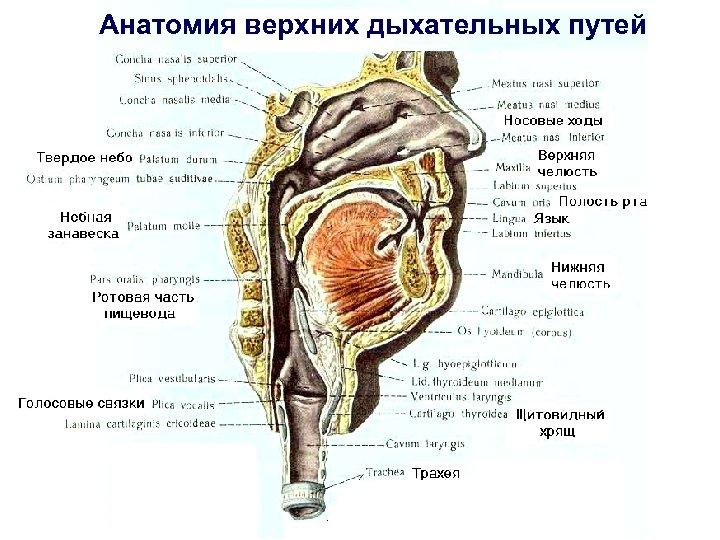 Анатомия верхних дыхательных путей