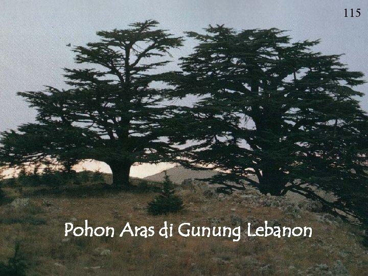 115 Pohon Aras di Gunung Lebanon