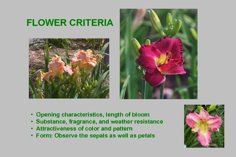 FLOWER CRITERIA • • Opening characteristics, length of bloom Substance, fragrance, and weather resistance