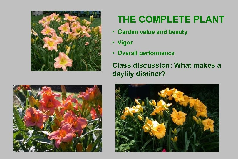 THE COMPLETE PLANT • Garden value and beauty • Vigor • Overall performance Class