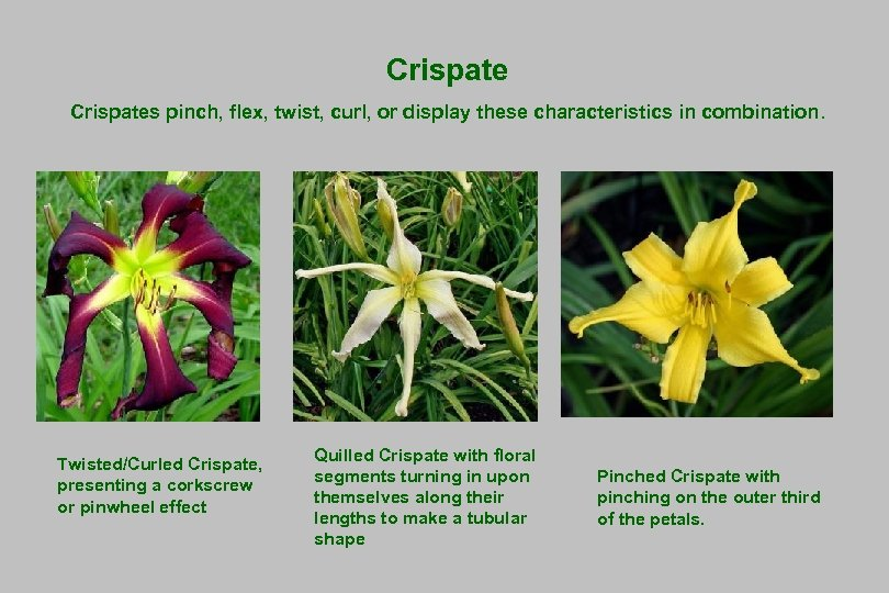 Crispates pinch, flex, twist, curl, or display these characteristics in combination. Twisted/Curled Crispate, presenting