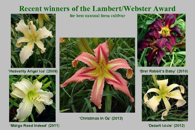 Recent winners of the Lambert/Webster Award for best unusual form cultivar 'Heavenly Angel Ice'