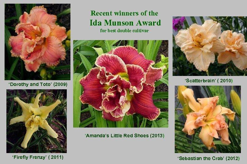 Recent winners of the Ida Munson Award for best double cultivar 'Scatterbrain' ( 2010)