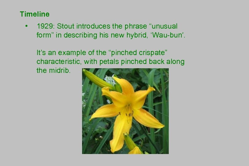 """Timeline • 1929: Stout introduces the phrase """"unusual form"""" in describing his new hybrid,"""