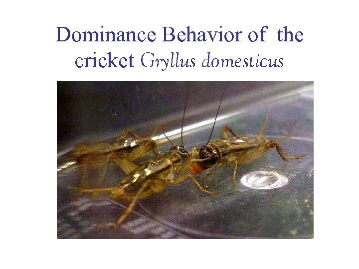 Dominance Behavior of the cricket Gryllus domesticus