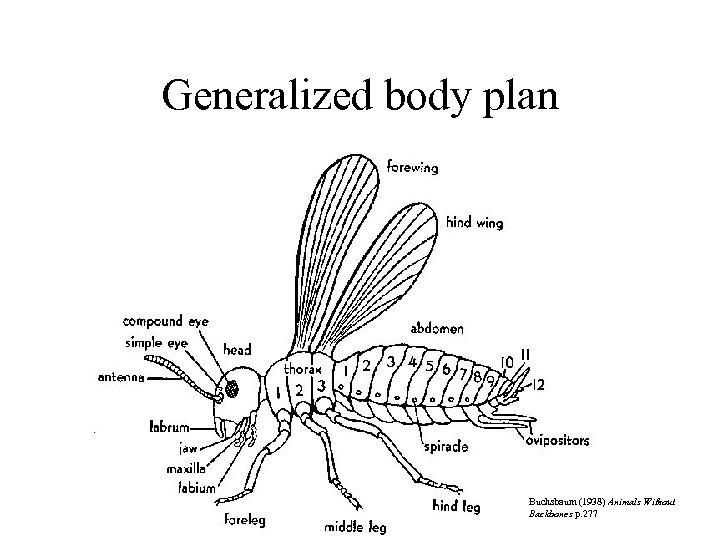 Generalized body plan Buchsbaum (1938) Animals Without Backbones p. 277