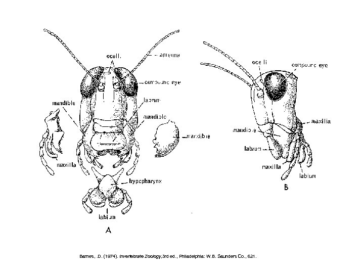 Barnes, . D. (1974). Invertebrate Zoology, 3 rd ed. , Philadelphia: W. B. Saunders