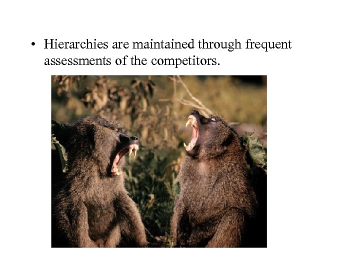 • Hierarchies are maintained through frequent assessments of the competitors.