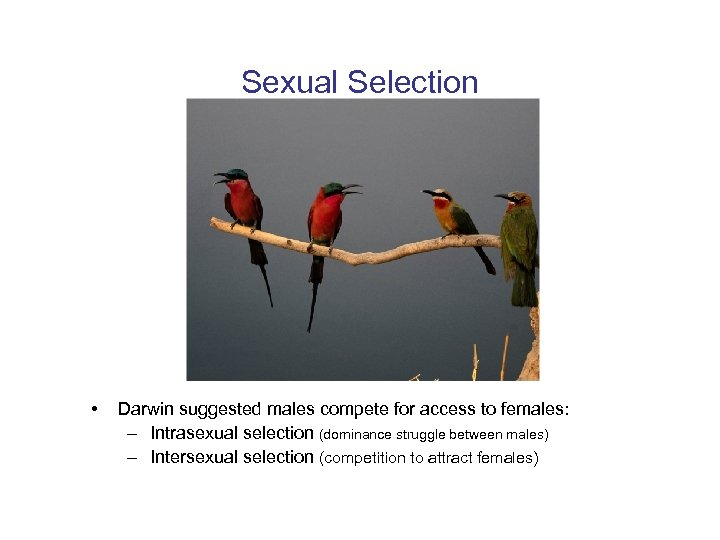 Sexual Selection • Darwin suggested males compete for access to females: – Intrasexual selection