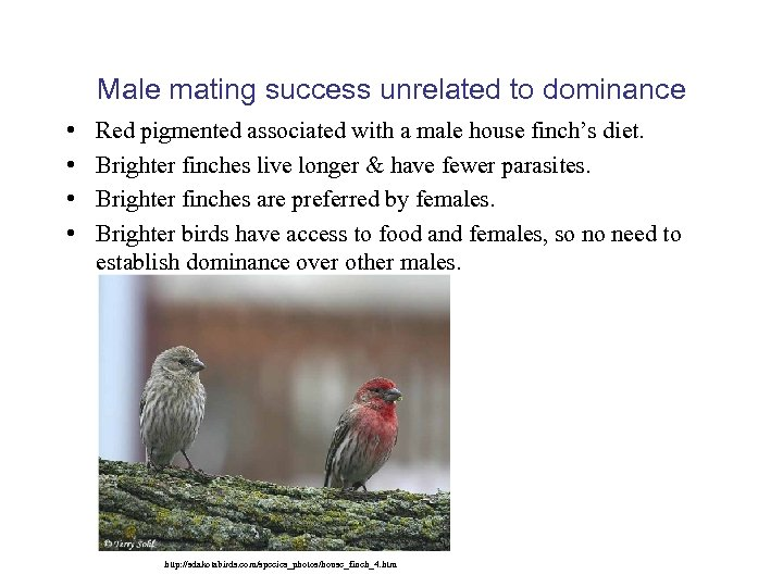 Male mating success unrelated to dominance • • Red pigmented associated with a male