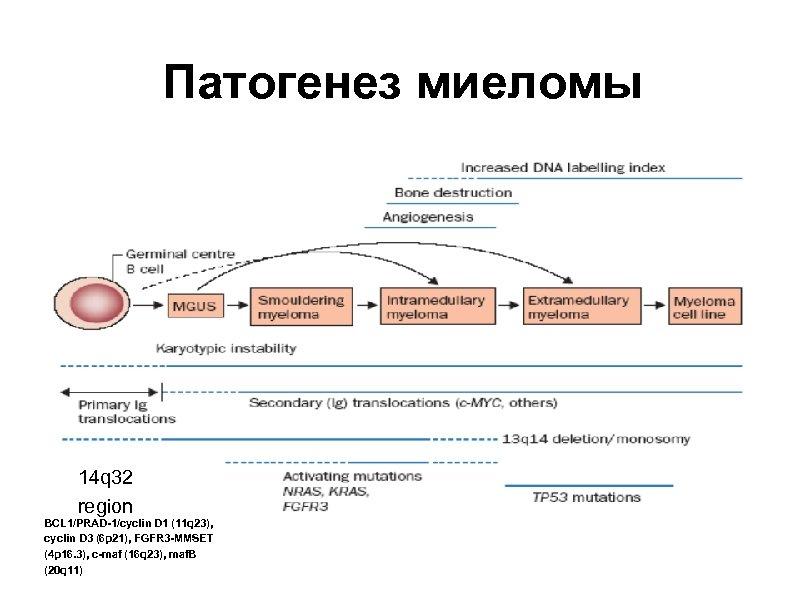 Патогенез миеломы 14 q 32 region BCL 1/PRAD-1/cyclin D 1 (11 q 23), cyclin
