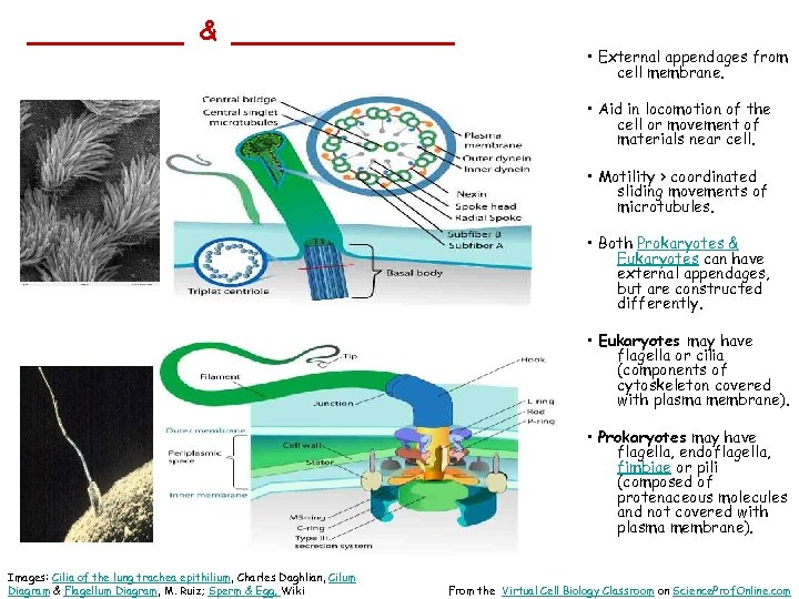 _______ & _____ • External appendages from cell membrane. • Aid in locomotion of