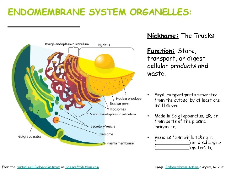ENDOMEMBRANE SYSTEM ORGANELLES: _______ Nickname: The Trucks Function: Store, transport, or digest cellular products