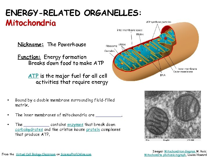 ENERGY-RELATED ORGANELLES: Mitochondria Nickname: The Powerhouse Function: Energy formation Breaks down food to make