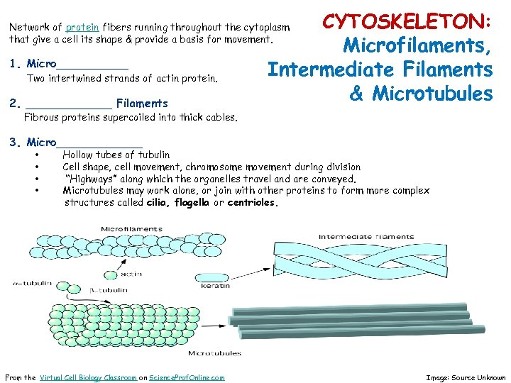 CYTOSKELETON: Microfilaments, Intermediate Filaments & Microtubules Network of protein fibers running throughout the cytoplasm
