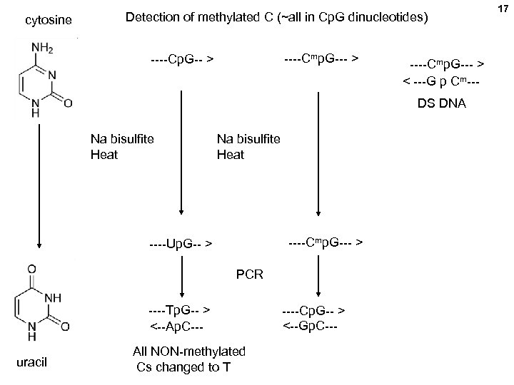 cytosine Detection of methylated C (~all in Cp. G dinucleotides) ----Cmp. G--- > ----Cp.