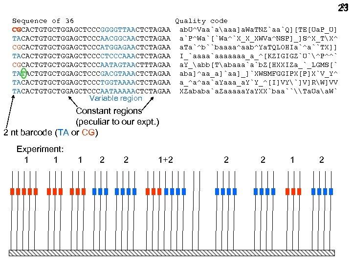 23 23 Sequence of 36 Quality code CGCACTGTGCTGGAGCTCCCGGGGTTAACTCTAGAA ab. U^Vaa`aaaa]a. Wa. TNZ`aa`Q][TE[Ua. P_U] TACACTGTGCTGGAGCTCCCAACGGCAACTCTAGAA